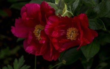 цветы, макро, лепестки, пионы