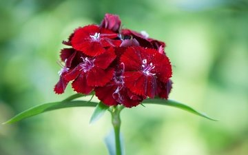 flowers, macro, petals, carnation, inflorescence, chinese carnation