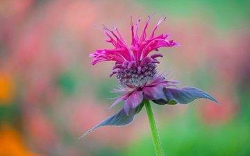 макро, цветок, лепестки, размытость, сорняк, монарда
