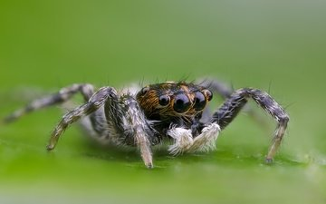 eyes, macro, insect, spider, hairs, legs, bokeh