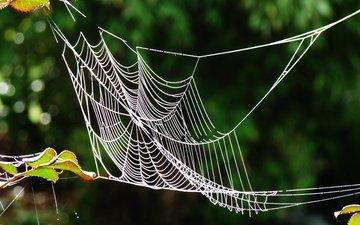 листья, макро, блики, размытость, паутина