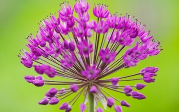 macro, inflorescence, decorative bow, allium