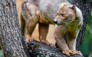 face, nature, tree, animals, trunk, on the tree, fauna, fossa