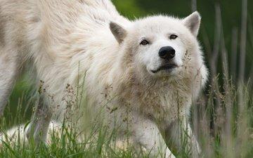 морда, трава, природа, взгляд, белый, волк, арктический волк