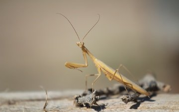 insect, background, look, sprig, mantis