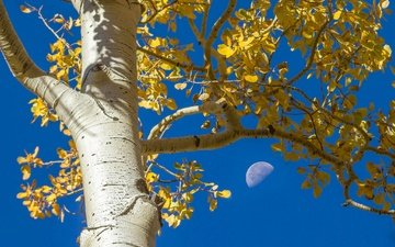 the sky, tree, leaves, branches, autumn, the moon, trunk, bark, aspen
