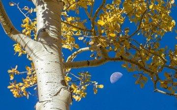 небо, дерево, листья, ветки, осень, луна, ствол, кора, осина