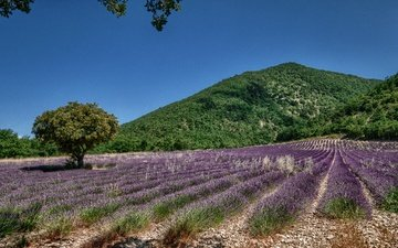 the sky, flowers, tree, field, lavender, hill
