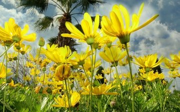 the sky, clouds, nature, petals, meadow, kosmeya, yellow flowers