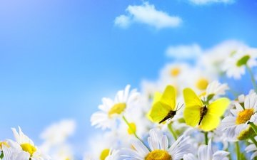 flowers, clouds, petals, wings, insects, chamomile, butterfly