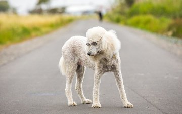 road, muzzle, glasses, dog, poodle