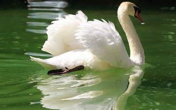 reflection, wings, pond, bird, swan, neck