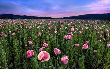 цветы, пейзаж, поле, горизонт, маки