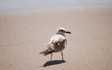 sand, seagull, bird, beak, feathers