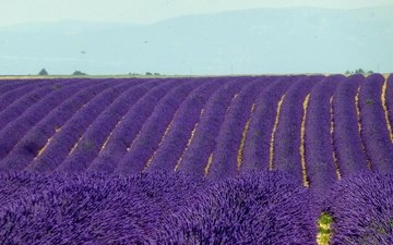 flowers, field, lavender, horizon, france, plantation, valensole