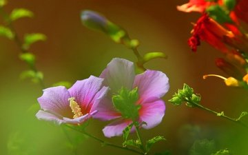 flowers, field, petals, meadow, plant, stem, mallow
