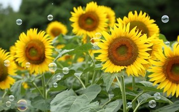 цветы, поле, лето, лепестки, подсолнухи, мыльные пузыри