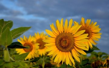 the sky, flowers, leaves, field, summer, petals, sunflowers