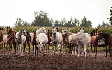 поле, лошади, кони, табун