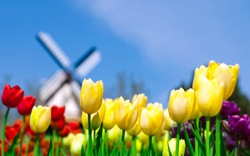 the sky, field, mill, tulips, netherlands, holland