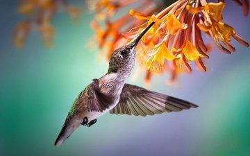 полет, цветок, птица, птичка, тропики, нектар, колибри