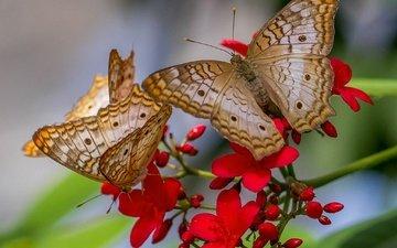 природа, цветок, бабочка, крылья, насекомые, бабочки, anartia jatropha