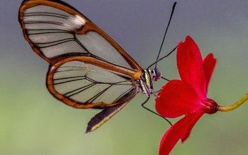 природа, насекомое, цветок, лепестки, бабочка, крылья, мотылек, стеклянная бабочка, грета ото