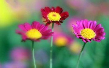 цветы, природа, лепестки, размытость, луг, стебель, маргаритки
