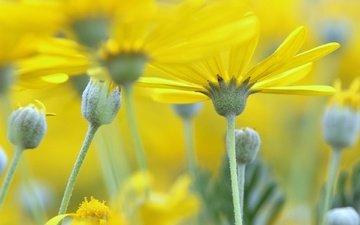 природа, лепестки, размытость, стебель, желтые цветы