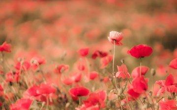цветы, природа, лето, лепестки, красные, маки