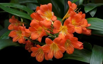 flowers, nature, leaves, petals, inflorescence, clivia