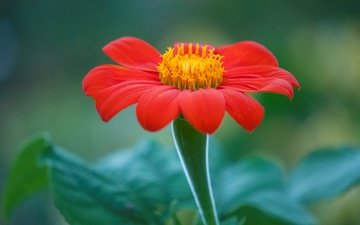 nature, macro, flower, petals, titania, mexican sunflower