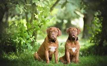 grass, nature, leaves, pair, dogs, dogue de bordeaux, two dogs