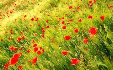 цветы, трава, природа, поле, лепестки, красные, маки, луг