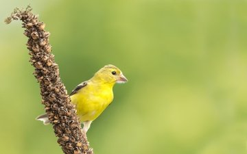 nature, bird, beak, feathers, siskin, american siskin