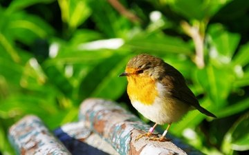 природа, птица, птичка, зарянка