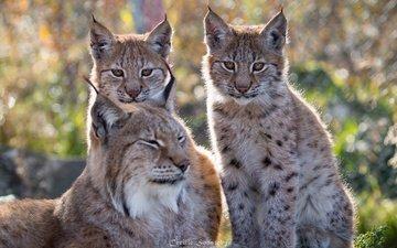 природа, рысь, взгляд, семья, хищники, мордочки, дикая кошка, рыси
