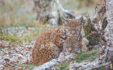 nature, lynx, sleep