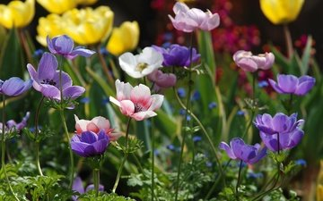 flowers, petals, colorful, anemones, anemone