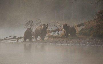 река, дерево, утро, медведи, медведица, медвежата