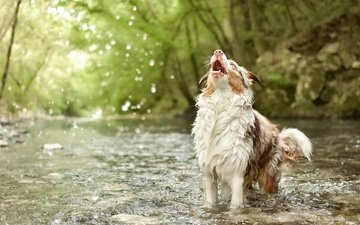 water, river, nature, dog, australian shepherd