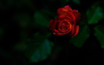 flower, rose, bud, the dark background, red rose