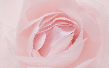 macro, flower, rose, petals, pink