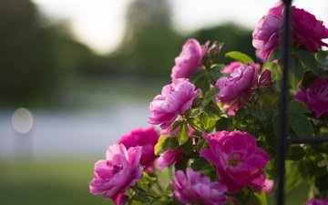 flowers, buds, roses, petals, bokeh, rose bush