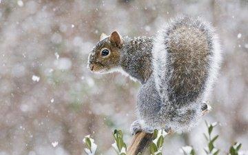 снег, мордочка, взгляд, белка, хвост, белочка