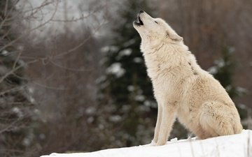 snow, nature, forest, winter, branches, white, sitting, ate, wolf, howl, polar, arctic
