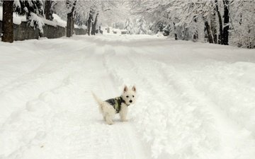 snow, winter, muzzle, look, dog, puppy, the west highland white terrier