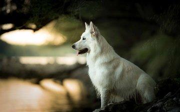 muzzle, look, dog, profile, language, bokeh, the white swiss shepherd dog
