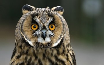 owl, background, look, bird, beak, feathers, long-eared owl