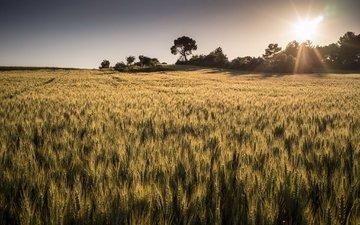 свет, солнце, природа, поле, горизонт, лето, колосья, пшеница